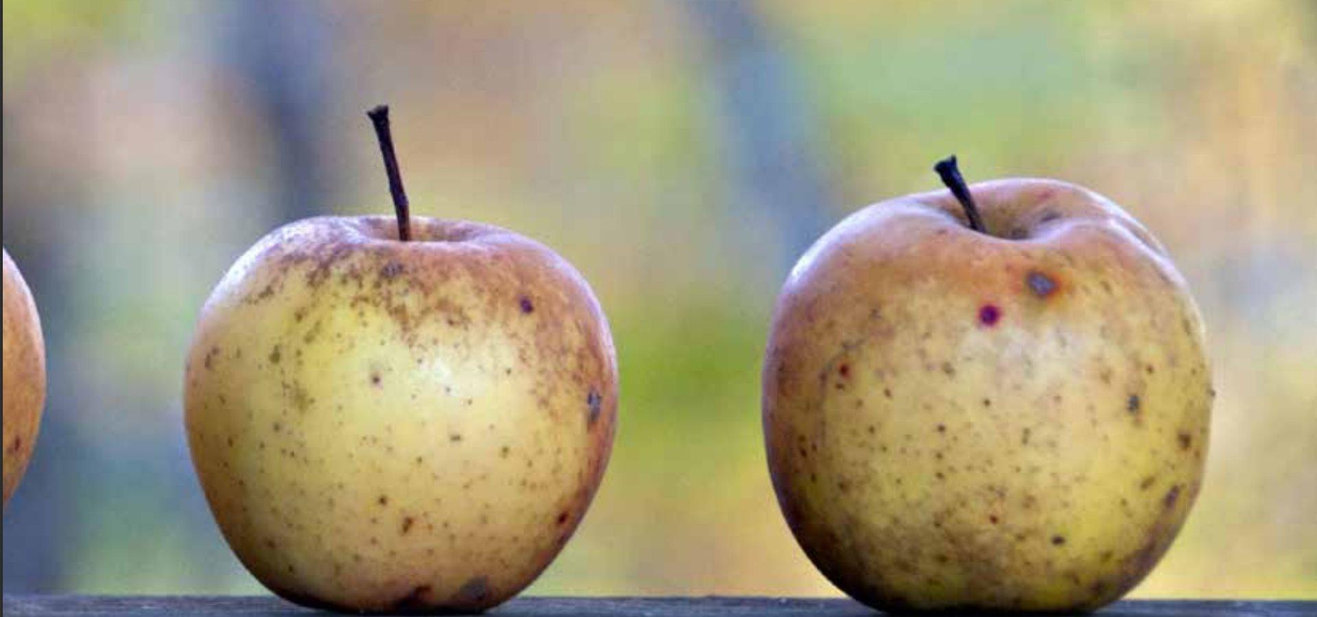 divlja-jabuka-1